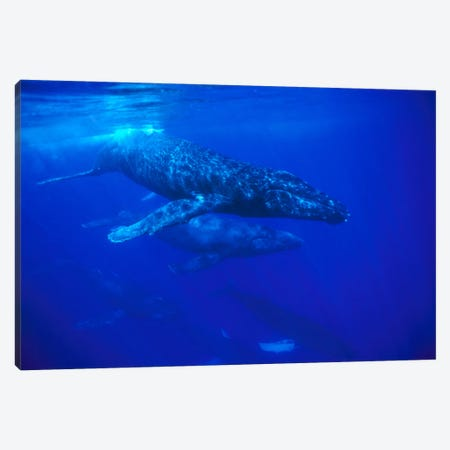 A Large Pod Of Travelling Humpback Whales, Maui, Hawaii (Photo Obtained Under NMFS Permit 987) Canvas Print #FLI4} by Flip Nicklin Art Print