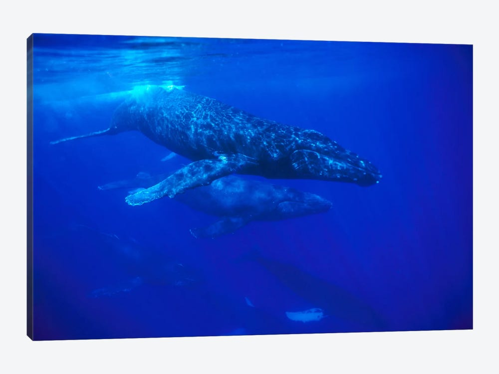 A Large Pod Of Travelling Humpback Whales, Maui, Hawaii (Photo Obtained Under NMFS Permit 987) by Flip Nicklin 1-piece Canvas Art