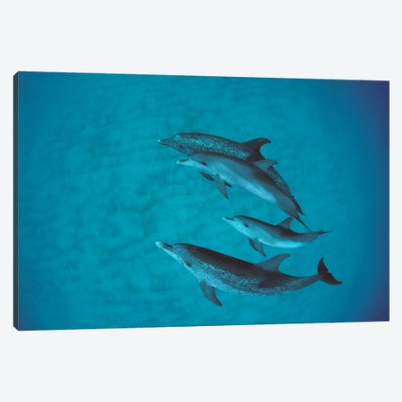 Atlantic Spotted Dolphin Group With Unspotted Calf, Bahamas Canvas Print #FLI5} by Flip Nicklin Canvas Print