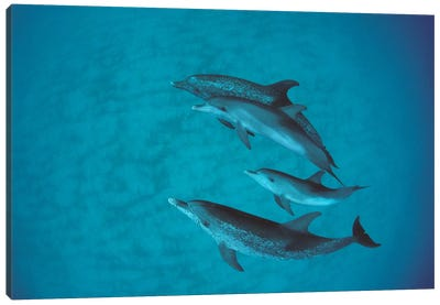 Atlantic Spotted Dolphin Group With Unspotted Calf, Bahamas Canvas Art Print