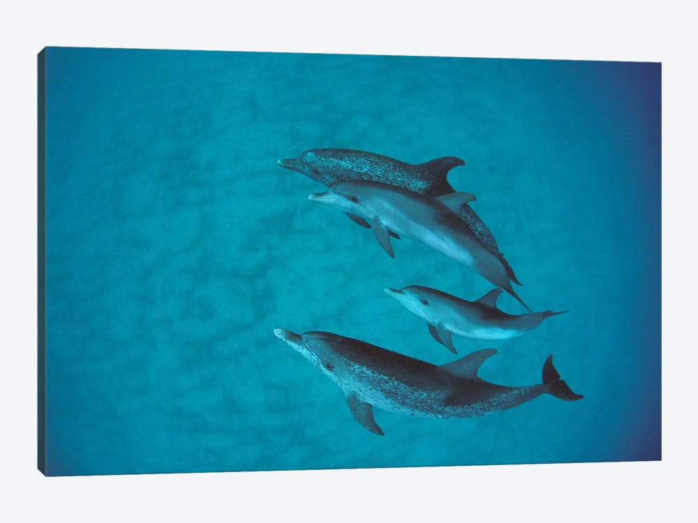 Atlantic Spotted Dolphin Group With Unspotted Calf, Bahamas by Flip Nicklin 1-piece Canvas Print