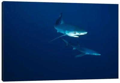 Blue Shark Pair Underwater, California Canvas Art Print