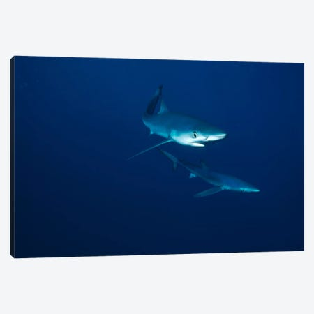 Blue Shark Pair Underwater, California Canvas Print #FLI6} by Flip Nicklin Canvas Art Print
