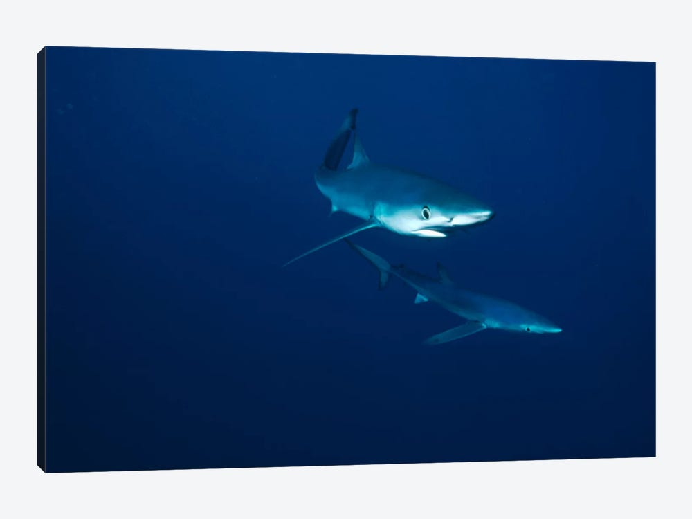 Blue Shark Pair Underwater, California by Flip Nicklin 1-piece Canvas Wall Art