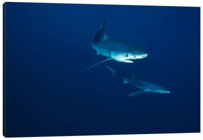 Blue Shark Pair Underwater, California Canvas Art Print