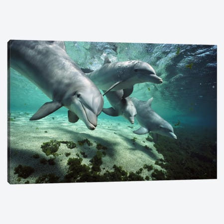 Bottlenose Dolphin Pod, Hawaii Canvas Print #FLI7} by Flip Nicklin Art Print