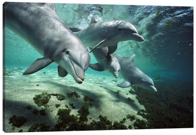 Bottlenose Dolphin Pod, Hawaii Canvas Art Print