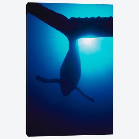 Humpback Whale Male Singing, Maui, Hawaii Canvas Print #FLI9} by Flip Nicklin Canvas Artwork