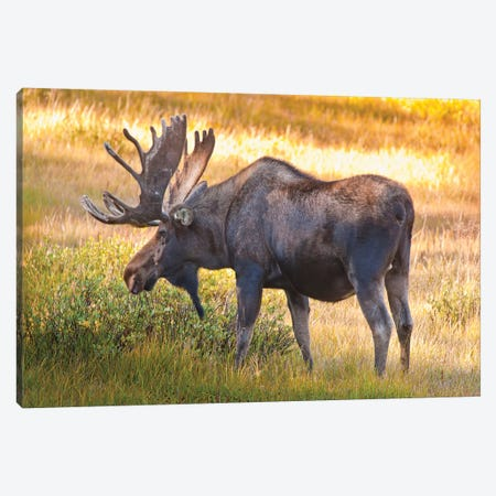 Bull Moose, Cameron Pass, Colorado, USA Canvas Print #FLO1} by Fred Lord Canvas Artwork