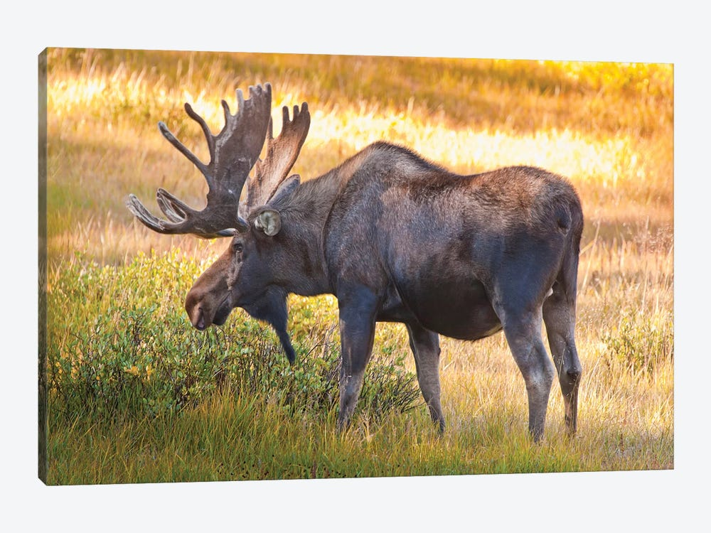 Bull Moose, Cameron Pass, Colorado, USA by Fred Lord 1-piece Canvas Art Print