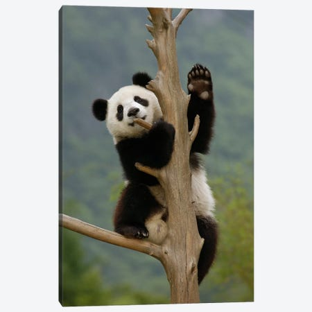 Giant Panda Cub Climbing Tree, Wolong Nature Reserve, China Canvas Print #FNG1} by Katherine Feng Canvas Art