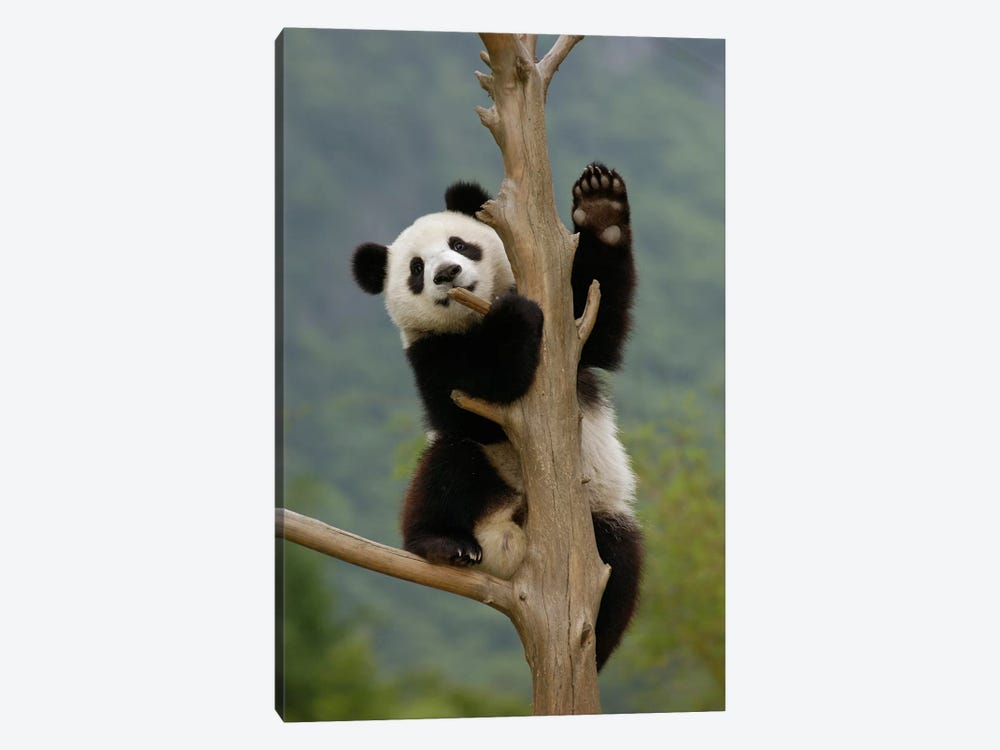 Giant Panda Cub Climbing Tree, Wolong Nature Reserve, China by Katherine Feng 1-piece Canvas Artwork