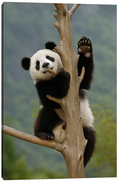 Giant Panda Cub Climbing Tree, Wolong Nature Reserve, China Canvas Art Print