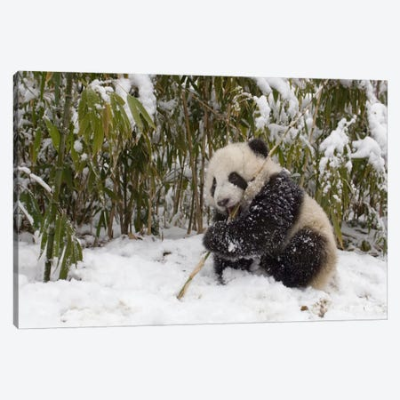 Giant Panda Cub Eating Bamboo, Wolong Nature Reserve, China Canvas Print #FNG2} by Katherine Feng Canvas Wall Art