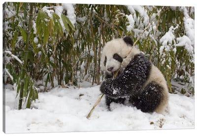 Giant Panda Cub Eating Bamboo, Wolong Nature Reserve, China Canvas Art Print