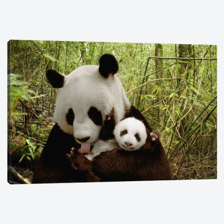 Giant Panda Gongzhu And Cub In Bamboo Forest, Wolong Nature Reserve, China, Digital Composite Canvas Print #FNG3} by Katherine Feng Canvas Art