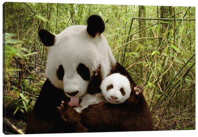 Giant Panda Gongzhu And Cub In Bamboo Forest, Wolong Nature Reserve, China, Digital Composite Canvas Art Print