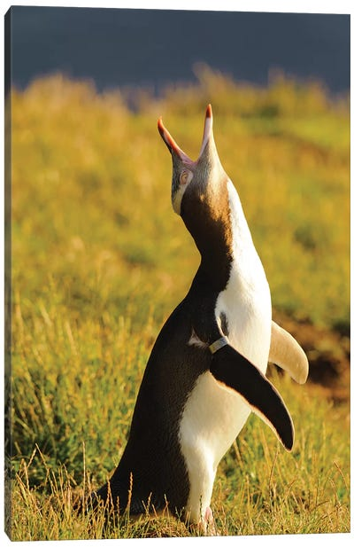 Yellow-Eyed Penguin, Katiki Point, Otago Region, South Island, New Zealand Canvas Art Print