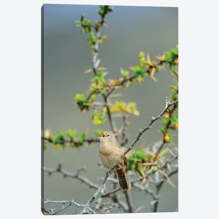 Chile, Aysen, Valle Chacabuco. House Wren in Patagonia Park. Canvas Print #FNO2} by Fredrik Norrsell Canvas Artwork