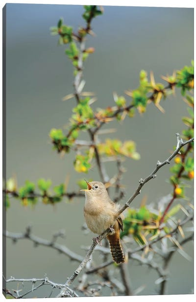 Chile, Aysen, Valle Chacabuco. House Wren in Patagonia Park. Canvas Art Print