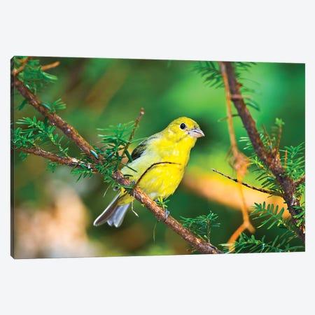 USA, Minnesota, Mendota Heights, Mohican Lane, American Goldfinch Canvas Print #FRI5} by Bernard Friel Canvas Print