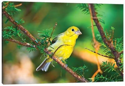 USA, Minnesota, Mendota Heights, Mohican Lane, American Goldfinch Canvas Art Print