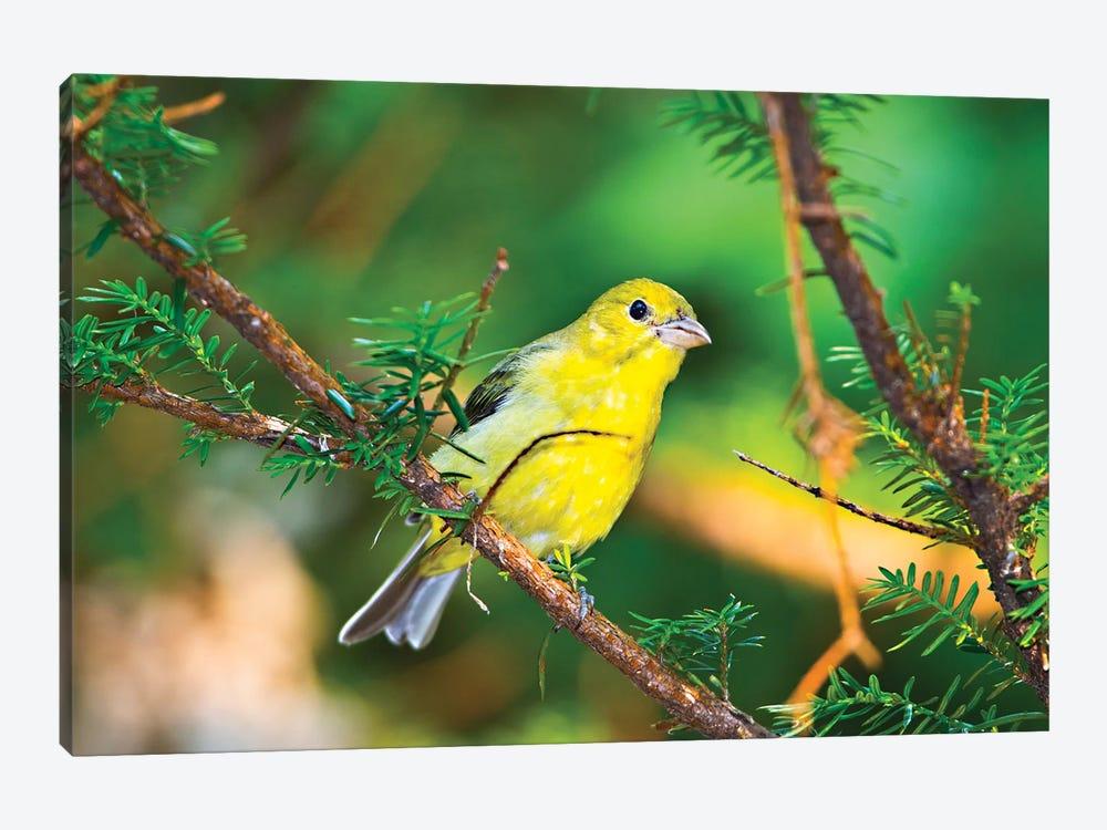 USA, Minnesota, Mendota Heights, Mohican Lane, American Goldfinch by Bernard Friel 1-piece Canvas Print