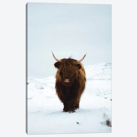 Highland Cattle, Faroe Islands I Canvas Print #FSB23} by Steffen Fossbakk Canvas Art