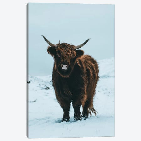 Highland Cattle, Faroe Islands II Canvas Print #FSB24} by Steffen Fossbakk Canvas Art Print