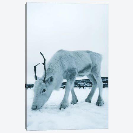 Up Close, Reindeer in Tromsø, Norway Canvas Print #FSB61} by Steffen Fossbakk Canvas Wall Art