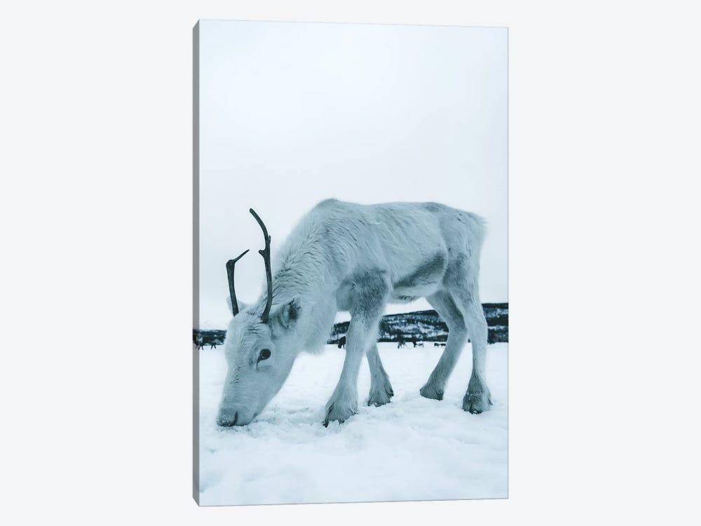 Up Close, Reindeer in Tromsø, Norway by Steffen Fossbakk 1-piece Canvas Wall Art