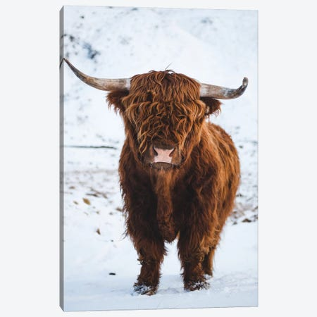 Highland Cattle I Canvas Print #FSB77} by Steffen Fossbakk Canvas Artwork