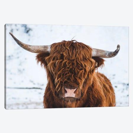 Highland Cattle II Canvas Print #FSB78} by Steffen Fossbakk Canvas Art Print
