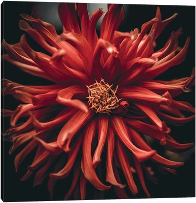 Chrysanths Canvas Art Print