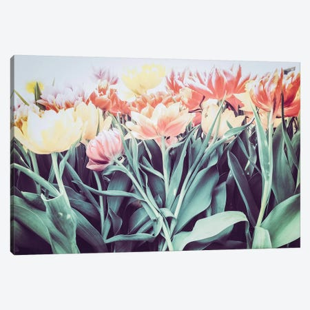 Tulipa Humilis Canvas Print #FSC48} by Florian Schleinig Canvas Art Print
