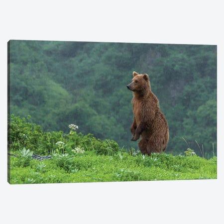 USA, Alaska, Katmai National Park, Hallo Bay. Coastal Brown Bear II Canvas Print #FZU2} by Frank Zurey Canvas Art Print