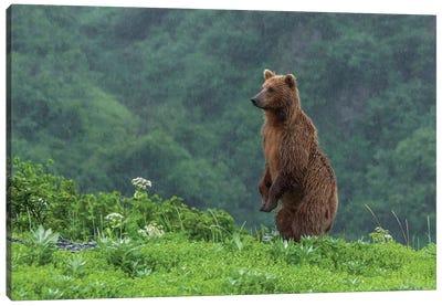 USA, Alaska, Katmai National Park, Hallo Bay. Coastal Brown Bear II Canvas Art Print