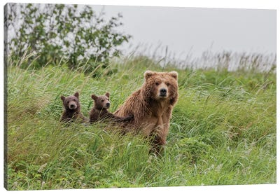 USA, Alaska, Katmai National Park, Hallo Bay. Coastal Brown Bear with twins II Canvas Art Print