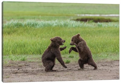USA, Alaska, Katmai National Park, Hallo Bay. Coastal Brown twins playing Canvas Art Print