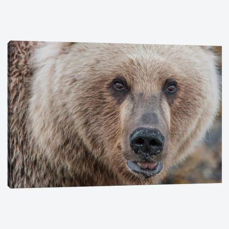 USA, Alaska, Katmai National Park, Kukak Bay. Coastal Brown Bear portrait Canvas Print #FZU6} by Frank Zurey Canvas Art