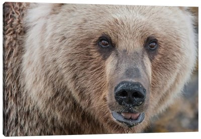 USA, Alaska, Katmai National Park, Kukak Bay. Coastal Brown Bear portrait Canvas Art Print