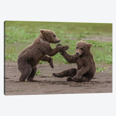 Twin Grizzly Bear Cubs Playing And Wrestling, Katmai National Park & Preserve, Alaska Canvas Print #FZU9} by Frank Zurey Canvas Print