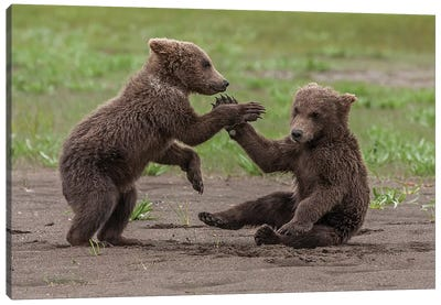 Twin Grizzly Bear Cubs Playing And Wrestling, Katmai National Park & Preserve, Alaska Canvas Art Print