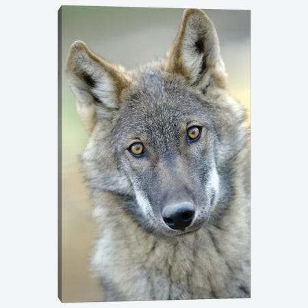Wolf Canvas Print #GAN100} by Goran Anastasovski Canvas Print