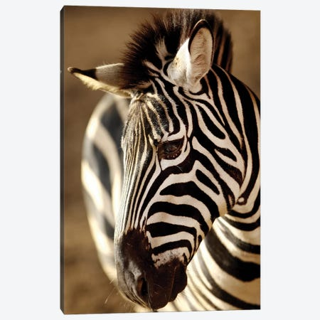 Zebra IV Canvas Print #GAN103} by Goran Anastasovski Canvas Art Print