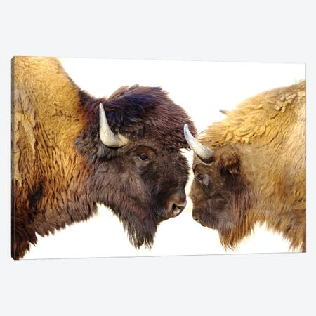 Bisons II Canvas Print #GAN11} by Goran Anastasovski Canvas Print