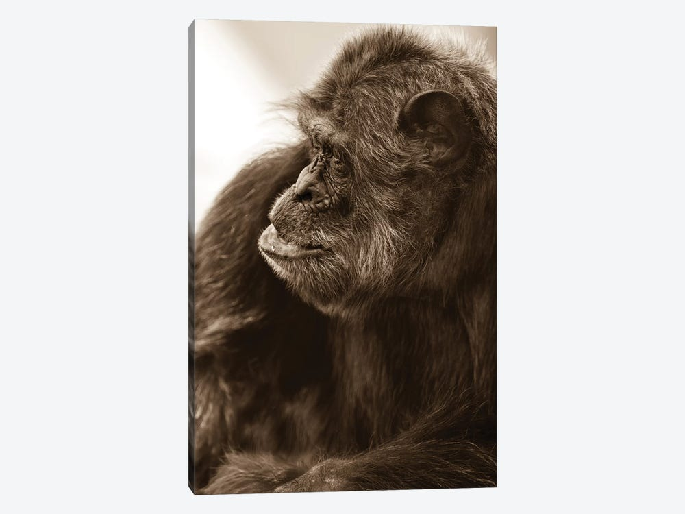 Chimpanzee II by Goran Anastasovski 1-piece Canvas Wall Art