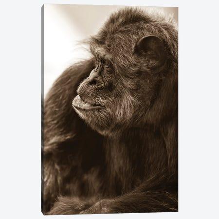 Chimpanzee II Canvas Print #GAN13} by Goran Anastasovski Art Print