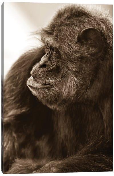Chimpanzee II Canvas Art Print