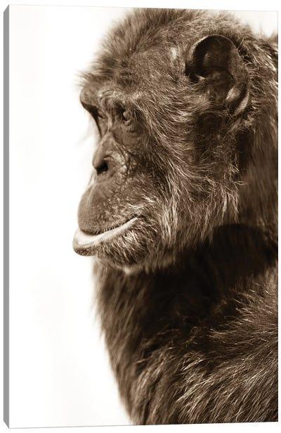Chimpanzee III Canvas Art Print